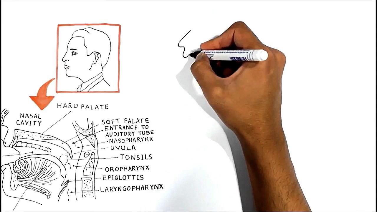 the oral cavity anatomy physiology pathology  [ 1280 x 720 Pixel ]