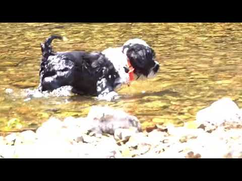 Crawford AKC Portuguese Water Dog Puppy
