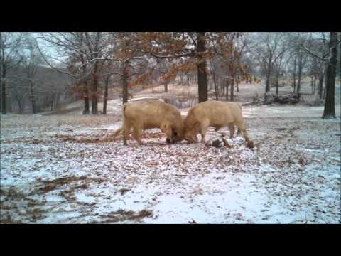 Bulls in winter