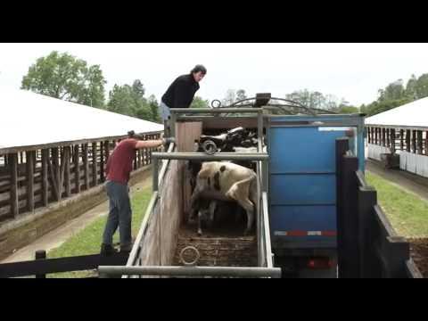 SAG participa de inédito embarque de vaquillas en pie a China