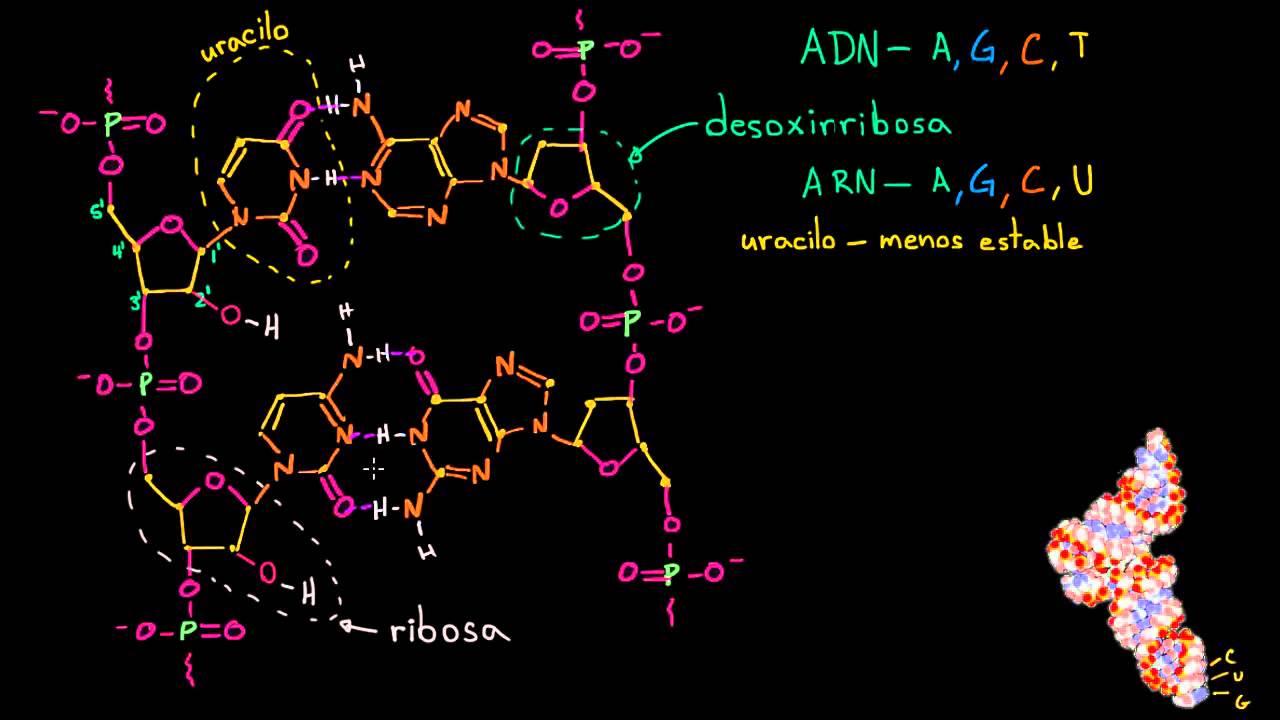 Estructura Molecular Del Arn Macromoléculas Biología Khan Academy En Español