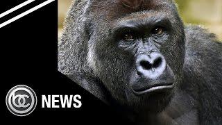 Video shows Gorilla dragging child in Cincinnati Zoo