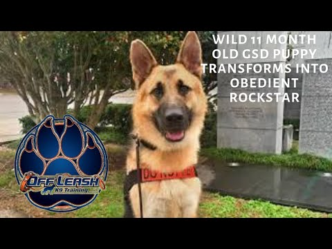 Asheville Dog Trainers- Wild 11 Month Old GSD Puppy Transforms Into Obedient Rockstar In 2 Weeks