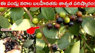 ఈ పండ్లు నరాల బలహీనతకు శాశ్విత పరిష్కారం ! || About Ziziphus Oenoplia (parika pandlu) Fruit