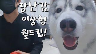 강아지 장난감 이상형 월드컵을 해봤어요ㅎㅎ/시베리안 허…