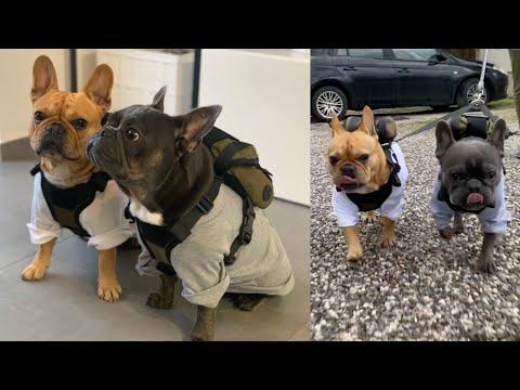 French Bulldogs Visit Ikea