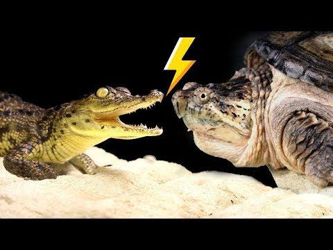 NILE CROCODILE VS. CAYMAN TURTLE  - ATTACKED!