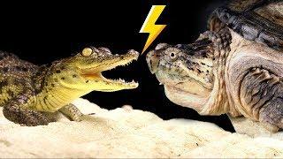 NILE CROCODILE VS. CAYMAN TURTLE  - ATTACKED! смотреть онлайн в хорошем качестве бесплатно - VIDEOOO
