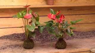 Growing the Anthurium 'Red' Root Orb  (Anthurium hybrid)