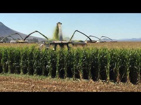Corn Harvest...Arizona style!!!