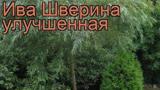 Ива декоративный Шверина (salix schwerina ulutschennaja) ???? обзор: как сажать, саженцы ивы Шверина