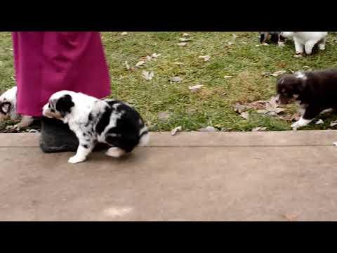 Mary Yoder's Australian Shepherd Puppies