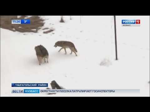 В Кузбасском поселке заметили стаю волков