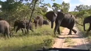 Słonie - dziki świat Afryki ,,Safari
