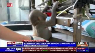 Bayi Orangutan Budi Mulai Bisa Makan Sendiri