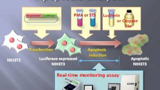 Long term analysis of apoptosis phenomena in living cell with luciferase