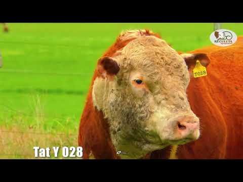 LOTE 13   TAT Y028 TOURO HEREFORD RECULUTA AGROPASTORIL