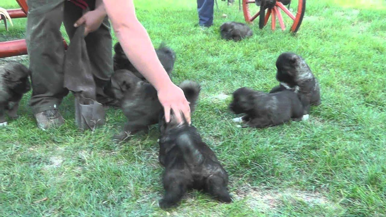 5 Weeks Old Caucasian Shepherd Puppies Borisz X Donaya