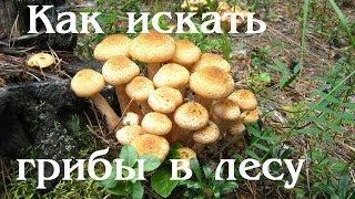 Как и где собирать грибы грузди, маслята, опята