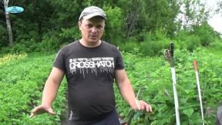 видео Колорадский жук: как защитить от него посевы картофеля