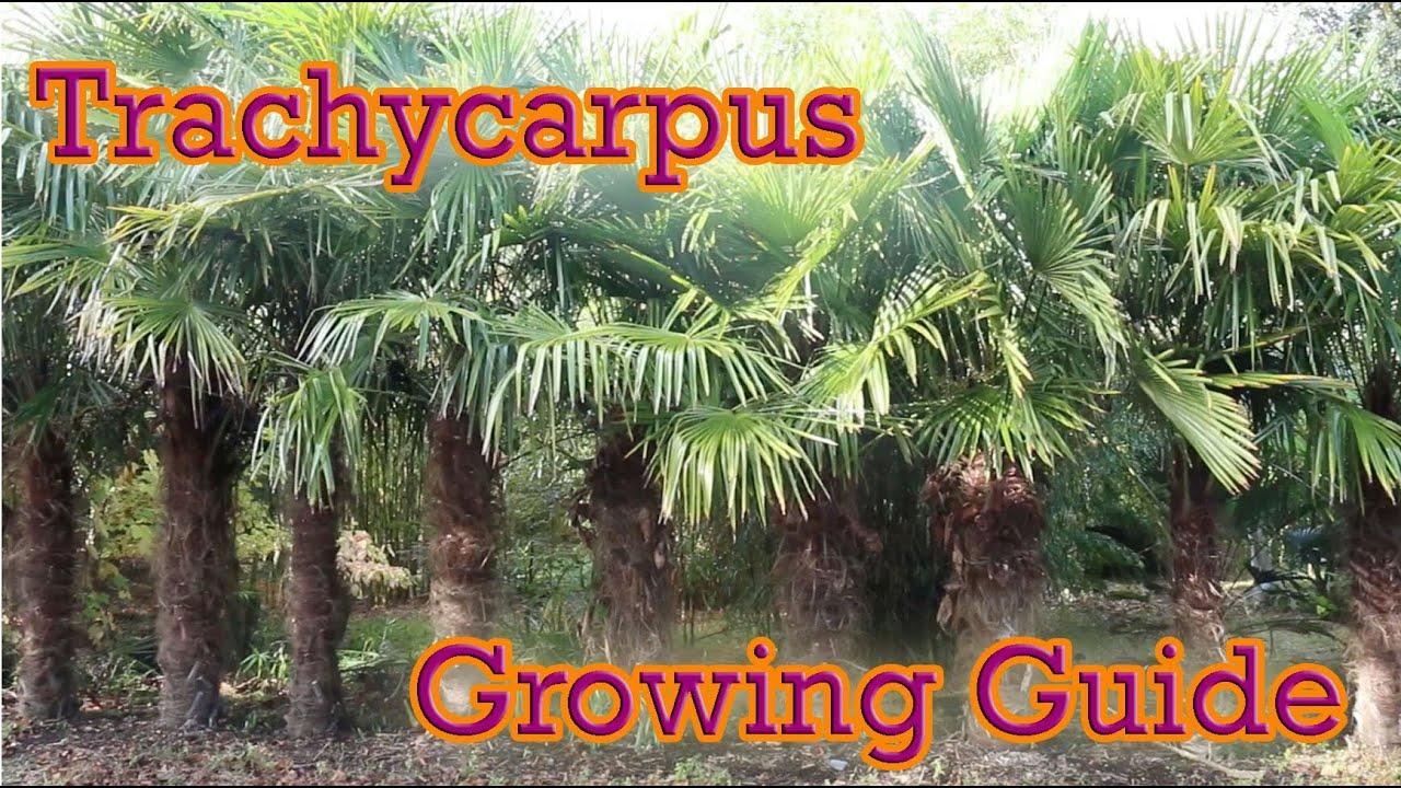 TRACHYCARPUS FORTUNEI 100 semi seeds Chamaerops excelsa cold resistant 18°C