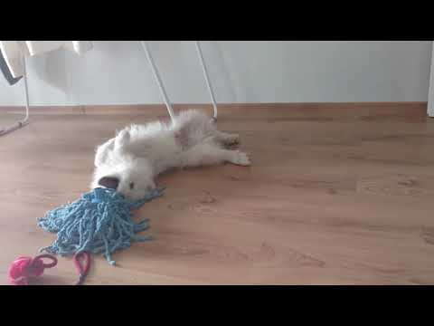 samoyed-puppy-lucky---toy-floor-mop-#funnypuppy-#samoyedpuppy