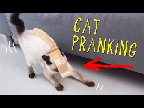 SIAMESE CAT W/ HER FIRST TAPE EXPERIENCE!!