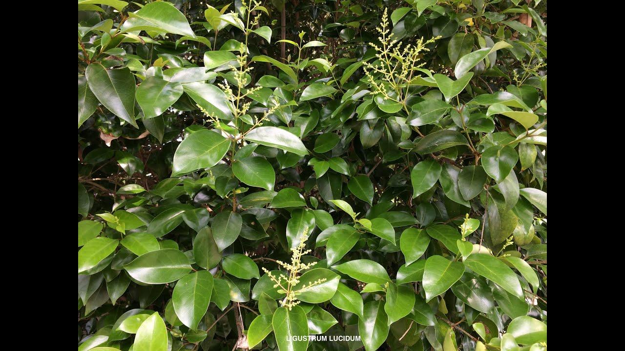 Soft Green Ligustrum Lucidum Glossy Privet Youtube