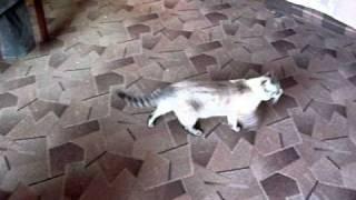 Водит кошка хороводы