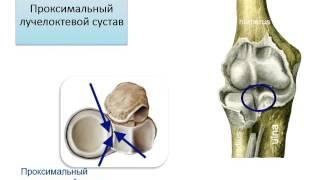 Соединения костей верхней конечности