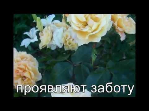 Значение желтых роз. Pозы в нашем саду