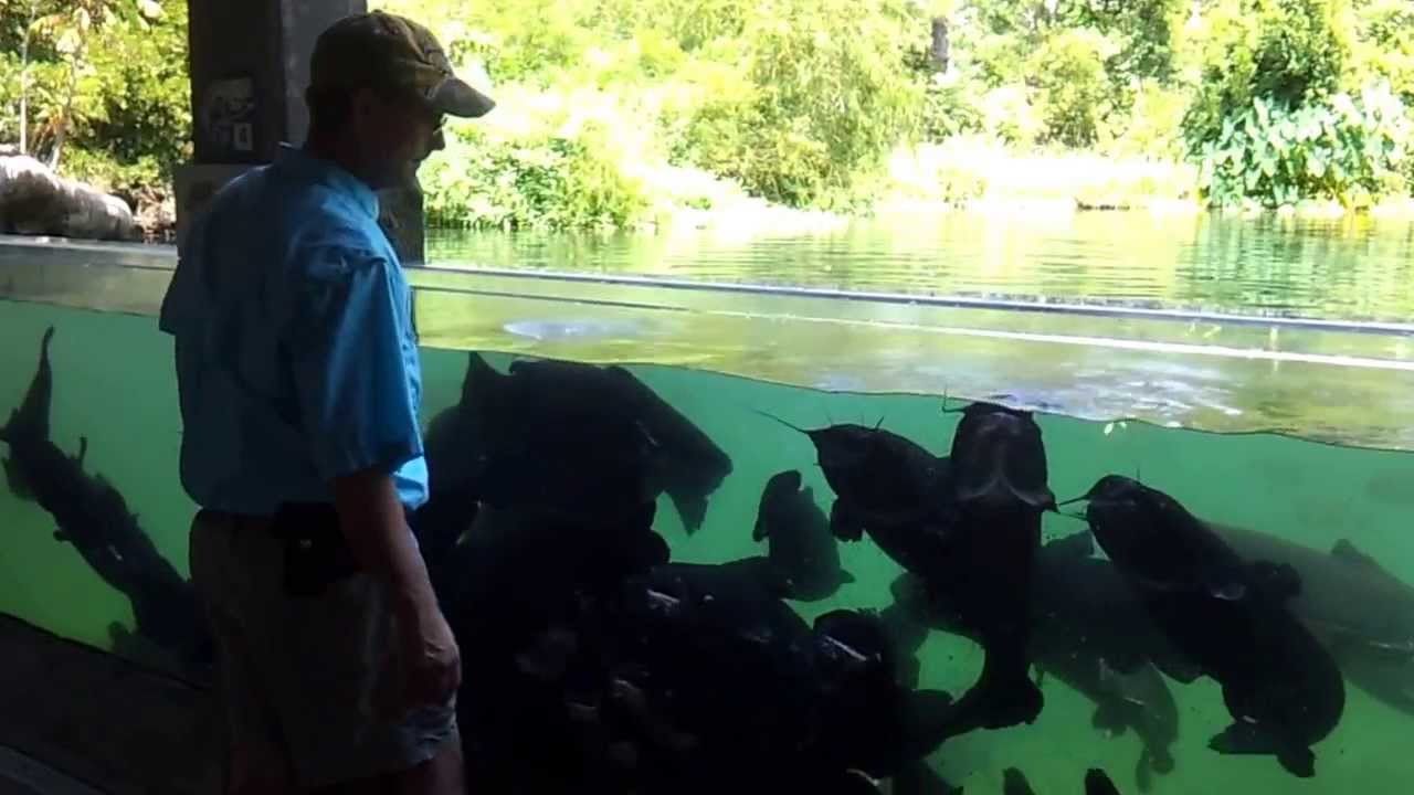 Giant Catfish at Fish Hatchery in Athens, TX Aug 10 2012
