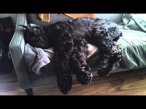 Giant Schnauzer Sleep Running
