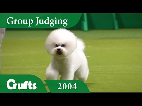 Bichon Frise wins Toy Group Judging at Crufts 2004