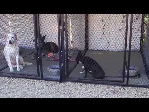 Aggressive Boston Terrier Being Rehabilitated