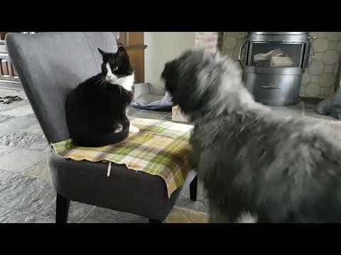 Bouvier puppy bullying cat