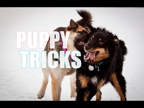 German shepherd mix Louna & Lapponian herder mix Savu -  PUPPY TRICKS