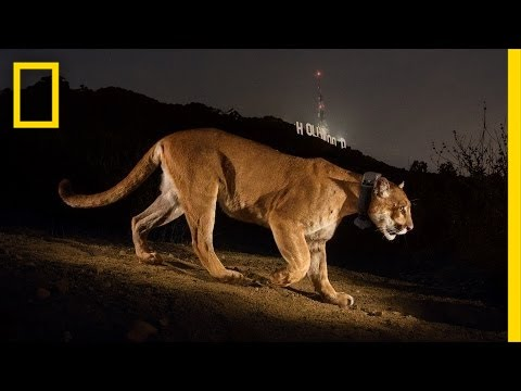 Chasing a Mountain Lion in Hollywood