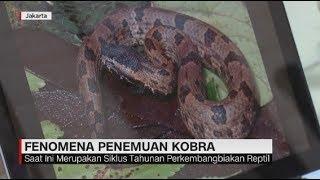 Ini Penjelasan Peneliti LIPI Soal Fenomena Penemuan Ular Kobra