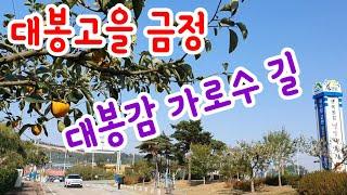 대봉고을 금정 대봉감 가로수 길
