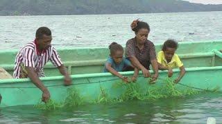Indonesia: Saved by seaweed