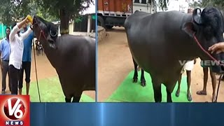 Sadar Festival | Buffalo Viraat Arrived Hyderabad For Celebrations | V6 News