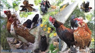 Ансамбль Алтай_Chickens танцует Танго  Altai bantam Chickens dance Tango