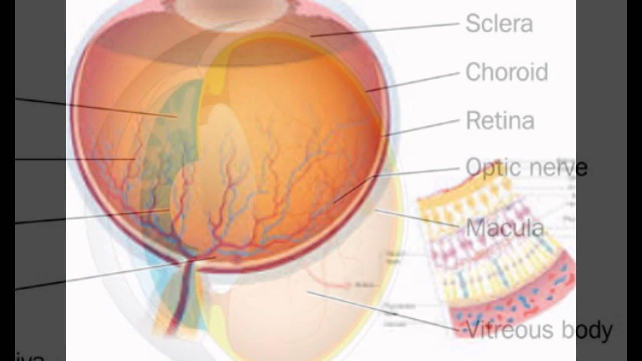 Eye Anatomy Retina - YouTube