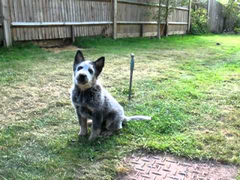 11 week old Cattle Dog - Clicker training