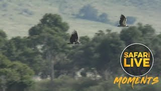 Vultures Lock Talons in Mid-Air Battle