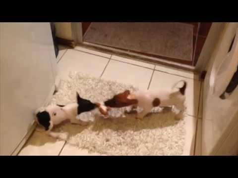 cute-puppies-fight-over-their-soft-toy---jack-russel-terrier