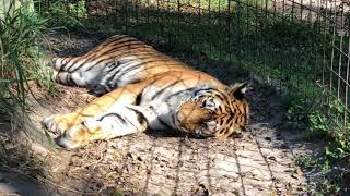 The Holleys tore down Keisha Tiger's old platform to give her one better suited to her geriatric