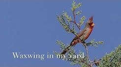 Waxwing in my yard in Hereford, AZ