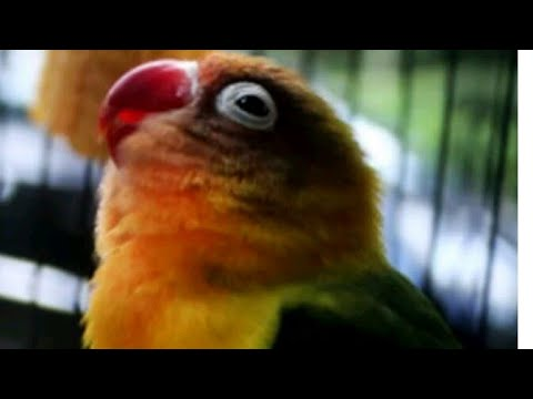 Lovebird konslet liyer liyer merem melek